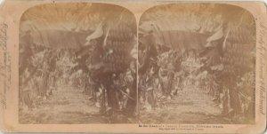 SV; Banana Plantation , Hawaii, 1896