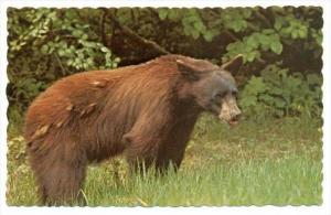 Brown Bear, British Columbia, Canada, 40-60s