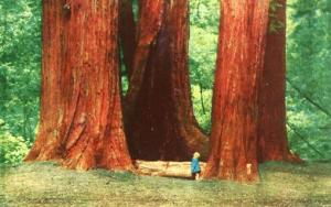 CA - Mill Valley, Muir Woods National Monument