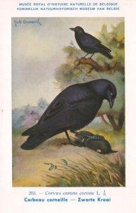Carrion Hooded Crow Corvus Corone WW2 Bird Vintage Rare Postcard