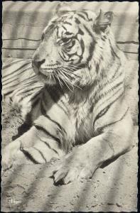 TIGER Tigre Tijger in Dutch ZOO (1957) RPPC