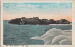 Alaska AK Postcard c1920 WALRUS ASLEEP ON ICE FLOE