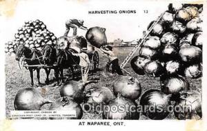 Harvesting Onions Napanee, Ont Postcards Post Cards Old Vintage Antique Napan...