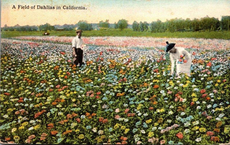 California Beautiful Field Of Dahlias Curteich