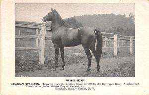 Hingham MA Goshen NY Arabian Stallion Haleb Race Horse Postcard