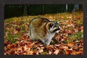 NH Natureland LINCOLN NEW HAMPSHIRE Postcard Raccoon
