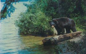 Black Bear Yearly Cub - Animal - Common the Eastern United States