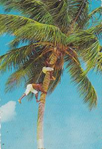 Picking Coconuts In The Sunny Caribbean