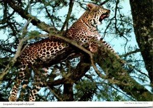 Kenya The Leopard 1971