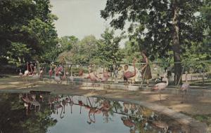 KANSAS CITY, Missouri, 1962 ; Flamingos , Swope Park Zoo