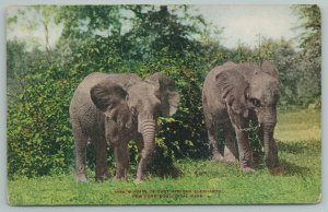 New York Zoological Park~Pair Of East African Elephants w/Trunks Down~c1910 PC