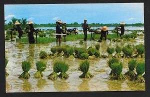 Uproot Rice Seedlings Nakorn-Chaisri Thailand unused c1950's