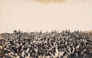 Real Photo Postcard~6 Teams of Horses in Field~Farmers Walk Crops~1908 RPPC