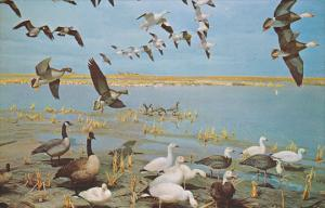 Saskatchewan Museum of Natural History, Wascana Park, Spring Migration of Gee...