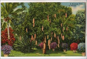 Sausage Tree, Florida