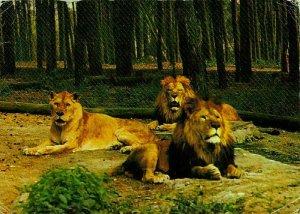 Lion Animals Lowen Tiger und Grosswild Auto Safari, Tuddern Postcard