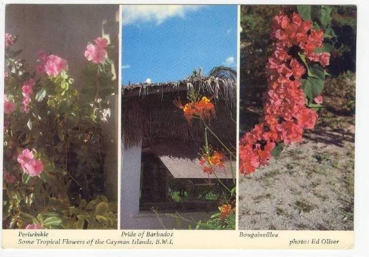 Tropical Flowers of Cayman Islands,B.W.I.  Periwinkel,Pride of Barbados,Bouga...