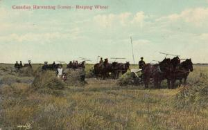 Canadian Harvesting Scenes , Reaping Wheat , 00-10s