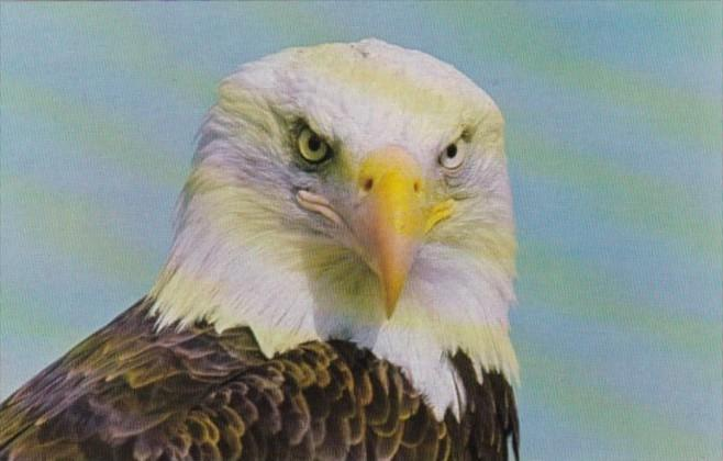 Canada North American Bald Eagle Wildlife Conservation Centre Saanichton Brit...