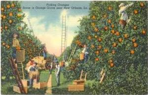 Picking Oranges,Orange Grove,New Orleans,LA,30-40s