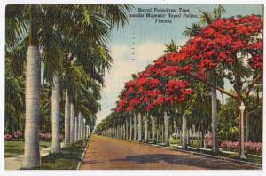 Royal Poinciana Tree FL