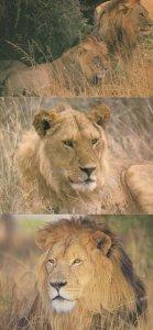 Tanzania Lions 3x Rare Lion Postcard s