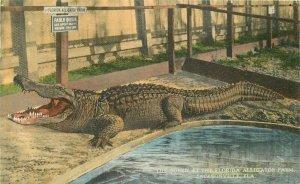 C-1910 Jacksonville Florida Queen Florida Alligator Farm Postcard 8694