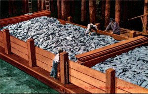 Washington Bellingham Scow Load Of Salmon From The Traps