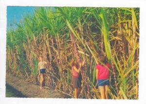 Sugar cane ready for harvest, AUSTRALIA, Pu-1984