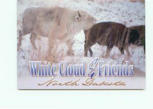 Postcard White Cloud  Buffalo Cow True Albino North American Bison  # 4462A