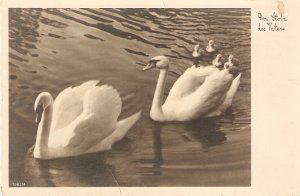 Swan family in the water Nice vintage postcard