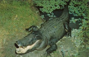 FLORIDA Alligator, 1950-60s
