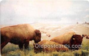 Denver Museum of Natural History, CO, USA American Bison Postcard Post Card D...