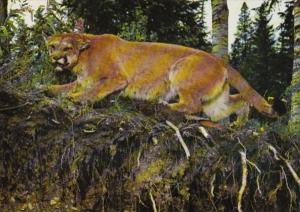 Canada British Columbia Williams Lake Mountain Lion Paul Sissons Wildlife Museum