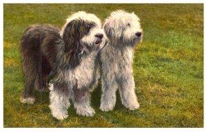 Dog ,   English  Sheepdogs