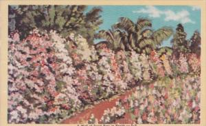 Florida Beautiful Wall Of Sweet Peas In Bloom 1950