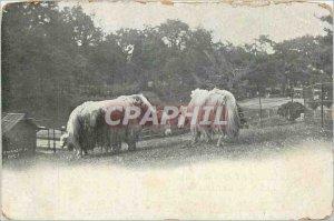 Old Postcard Cows ANIMALS St. Anthony of Padua Rue de la Barre Dieppe