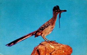 Bird - Desert Road Runner