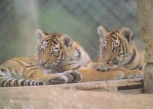 Siberian Tiger Cubs Giant Cat Babies at Winchester Zoo Postcard