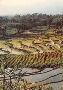 Reisterrassen in Nepal Ernte und damit Lebenssicherung