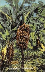Banana Tree and Fruit Bermuda Unused