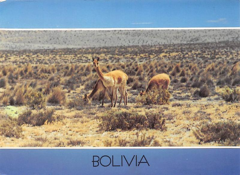 South America Fenno Bolivia Vicunas en el Altiplano Animals