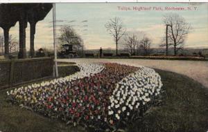 New York Rochester Tulips In Highland Park 1912
