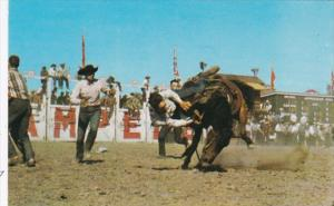 Canada Calgary Bucking Horse Contest At Calgary Stampede