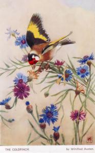 Goldfinch Mareca Penelope by Winifred Austen Artist Signed Old Postcard