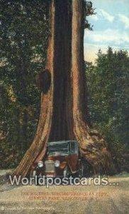 Big Tree, Stanley Park Vancouver British Columbia, Canada Unused