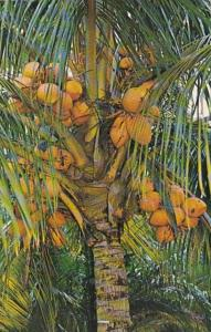 Florida Coconut Palm Trees With Fruit