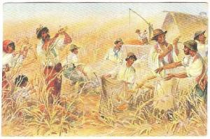 Corn harvest , PU-1908 Australia