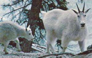 Two Rocky Mountain Goats, Canadian Rockies, Alberta, Canada, 40-60´s