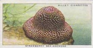 Wills Vintage Cigarette Card The Sea-Shore No 40 Strawberry Sea Anemone  1938